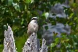 Red-backed shrike. Tornskate