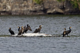 Great Cormorant, Skarv