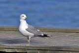 European Herring Gull. Gråmåke