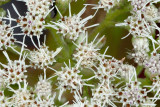Boneset Close-up