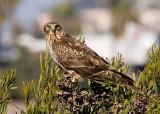 Northern Harrier - female