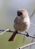 Bushtit - male