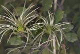 Virgin's Bower (Clematis pauciflora)