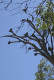 Seven Turkey Vultures