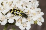 Ornate Checkered Beetle (Trichodes ornatus)