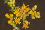 Coastal  Goldenbush (Isocoma menziesii menziesii)