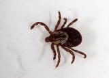 Tick  (Dermacentor occidentalis)