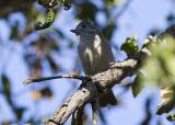 Oak Titmouse