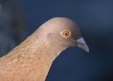 Rock Dove (common pigeon)