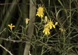 Western Goldenrod (Euthamia occidentalis)