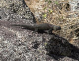 Desert Spiny Lizard  (Sceloporus orcutti)