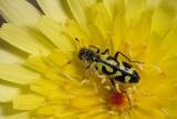 Ornate Checkered  Beetle  (Trichodes ornatus)