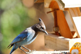 Scrub jay at the feeder