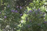 Lilac - ok, so it's our neighbors!