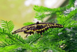 Another butterfly from Turtle Bay