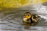 Mallard duckling _S9S8863.jpg