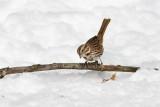 Song Sparrow _11R1917.jpg
