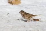 Song Sparrow _11R1926.jpg
