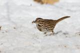 Song Sparrow _11R1927.jpg