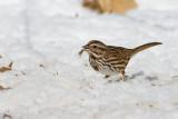 Song Sparrow _11R1928.jpg