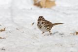 Song Sparrow _11R1929.jpg