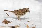 Song Sparrow _11R1931.jpg