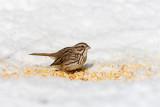 Song Sparrow _11R2182.jpg