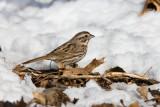 Song Sparrow _11R2306.jpg
