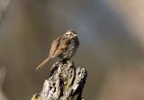 Song Sparrow _I9I5549.jpg