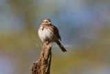 Song Sparrow _I9I5556.jpg