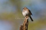 Song Sparrow _I9I5558.jpg