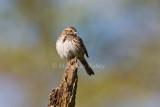 Song Sparrow _I9I5559.jpg
