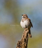 Song Sparrow _I9I5563.jpg