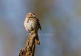 Song Sparrow _I9I5579.jpg