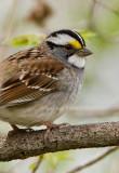 White-throated Sparrow _I9I4937.jpg