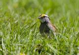 White-throated Sparrow _I9I6018.jpg