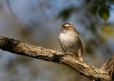 White-throated Sparrow _I9I5585.jpg