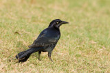 GREAT-TAILED GRACKLES (Quiscalus mexicanaus)