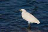 Snowy Egret _I9I6931.jpg