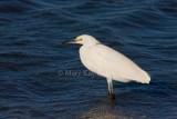 Snowy Egret _I9I6933.jpg