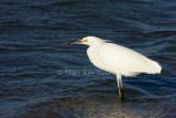 Snowy Egret _I9I6938.jpg