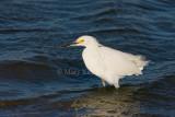 Snowy Egret _I9I6944.jpg