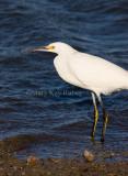 Snowy Egret _I9I7015.jpg