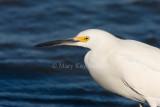 Snowy Egret _I9I7018.jpg