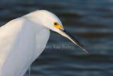 Snowy Egret _I9I7098.jpg