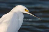 Snowy Egret _I9I7100.jpg