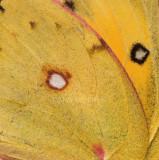 Orange Sulphur wing detail_I9I2376.jpg