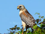 RED-SHOULDERED HAWKS (Buteo lineatus)