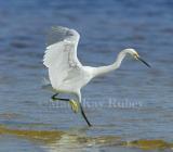Snowy Egret 58FB3630.jpg