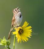 Song sparrow _S9S2272.jpg